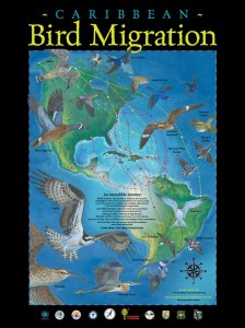Caribbean Bird Migration